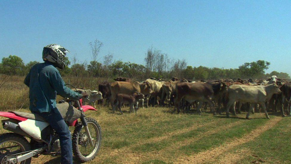 sheep herding in Australia