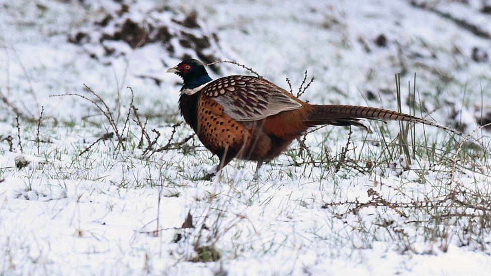 Glen Fruin pheasant