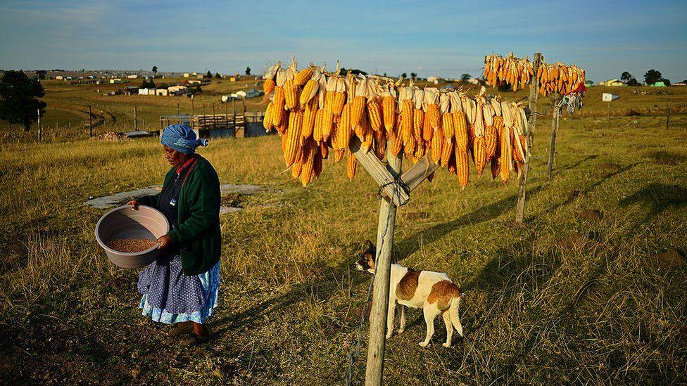 Woman walks past corn