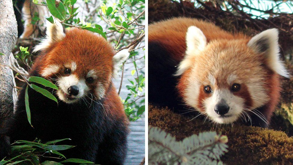The Chinese (left) and Himalayan (right) red pandas are separate species