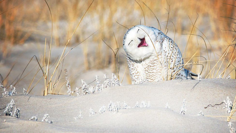 An owl laughing