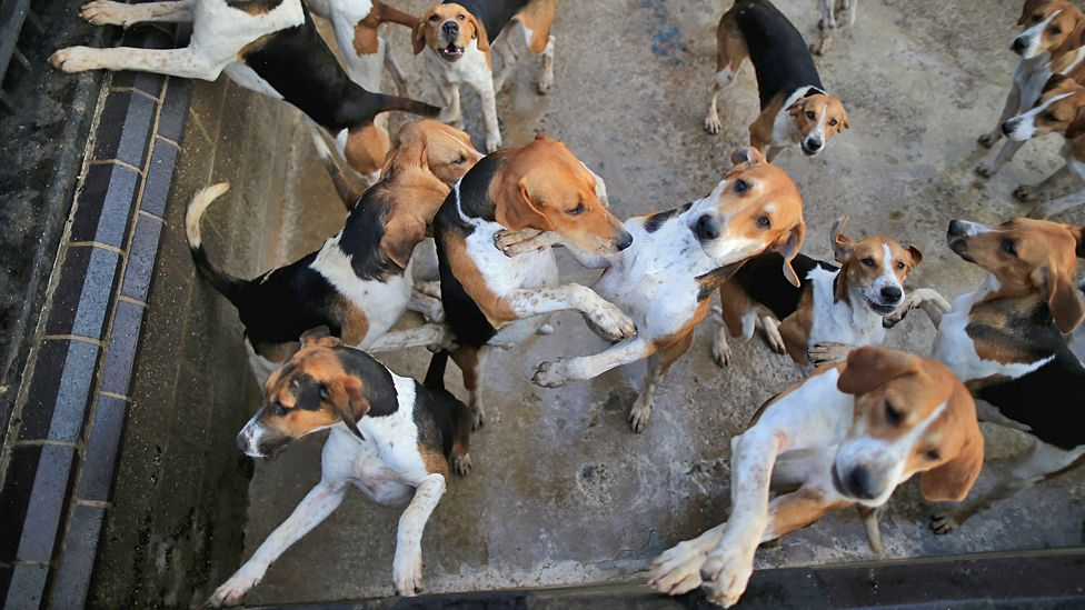 Generic image showing hunting hounds