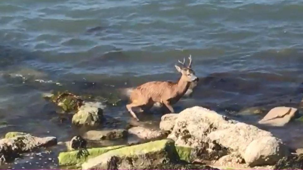 Deer stuck in the water