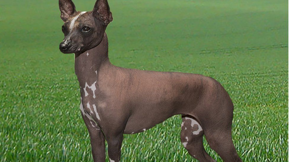 The Mexican hairless dog