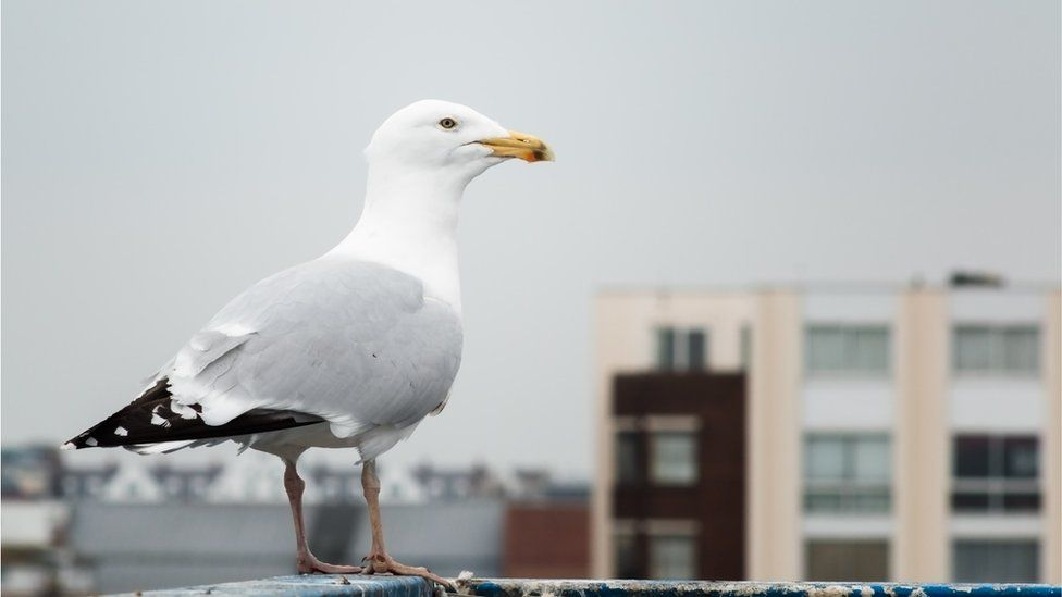 Urban gull - generic