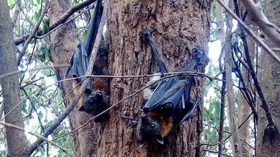 Flying foxes on a tree in Sydney