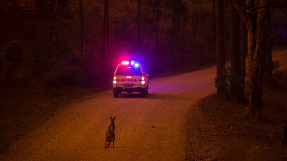 A wallaby on the road behind an emergency car after escaping a bushfire near Nana Glen in New South Wales
