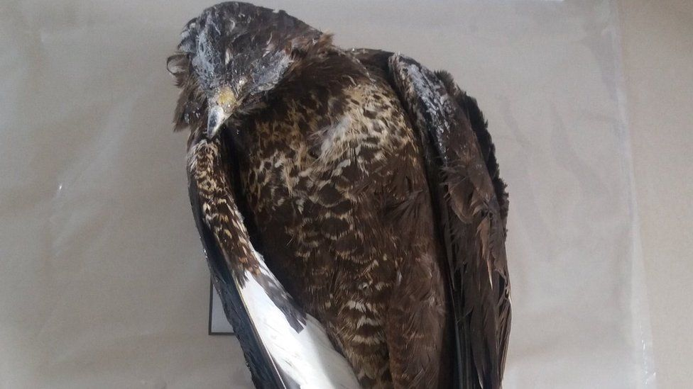 Dead buzzard