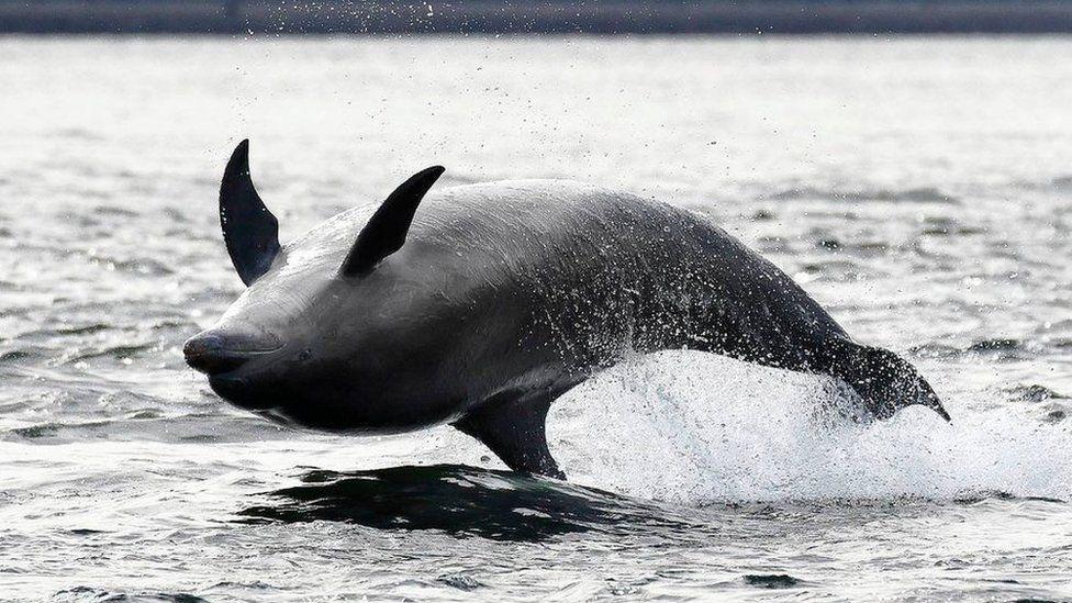 Bottlenose dolphin in Moray Firth