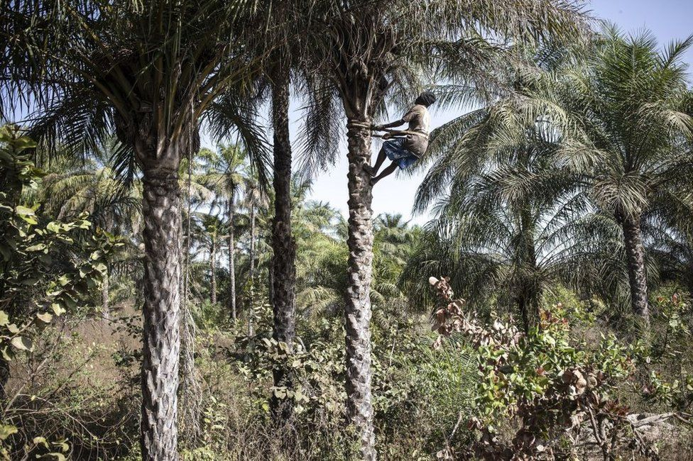 A man climbs a palm tree to harvest palm nut in Oussouye, Senegal - Friday 12 February 2021