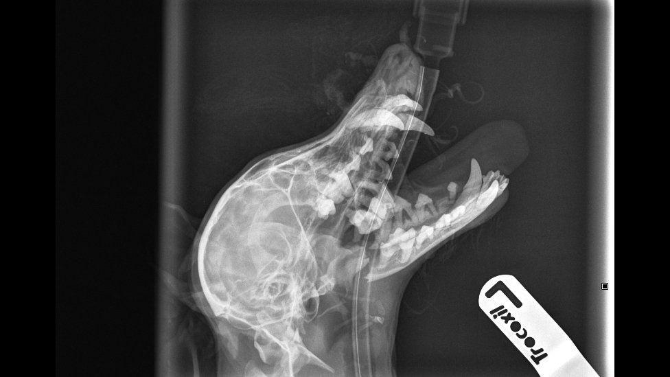 X-ray of dog's head