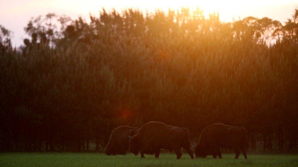 European bison graze on the edge of Bialowieza Forest,