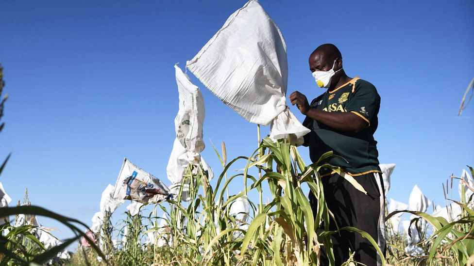 A masked farmer covering his crop near Gaborone in Botswana - Sunday 5 April 2020