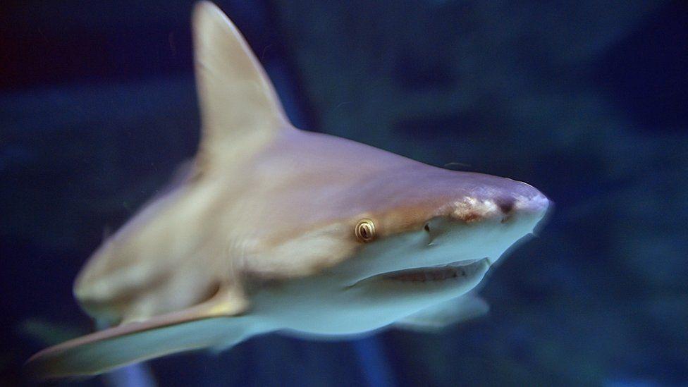 A shark swims in an aquarium in western France in December 2016
