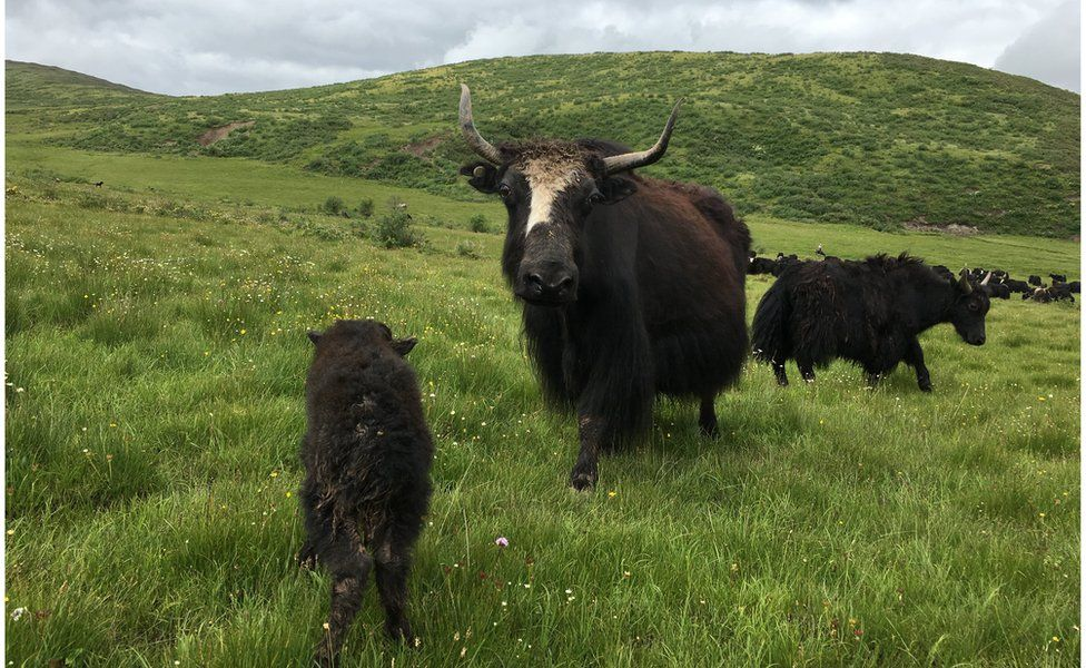 A black furry yak in a grass field approaches the camera, with other yaks in the background