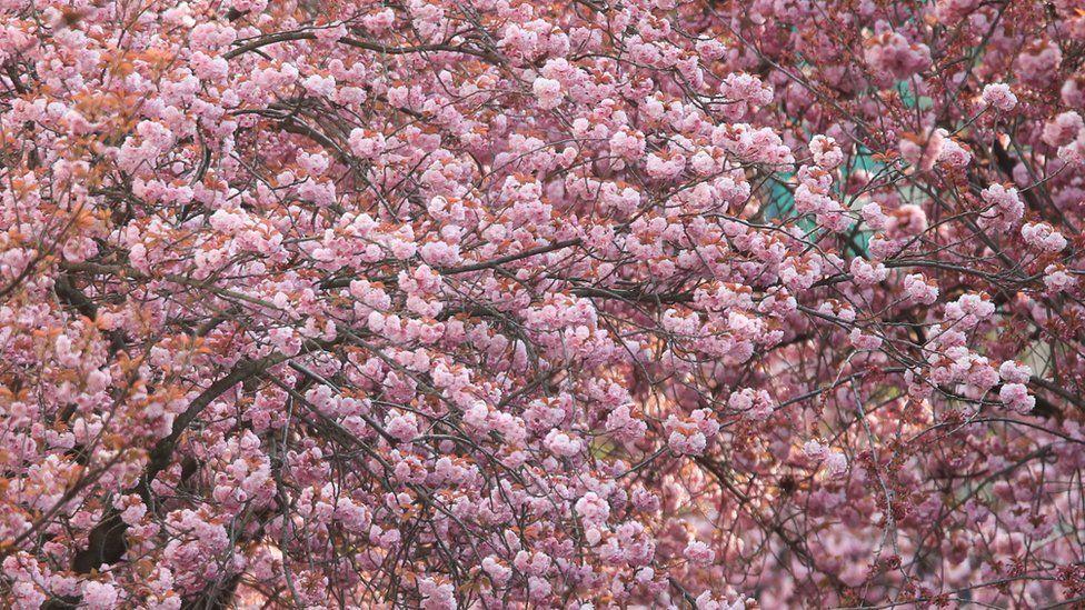 Cherry blossom generic