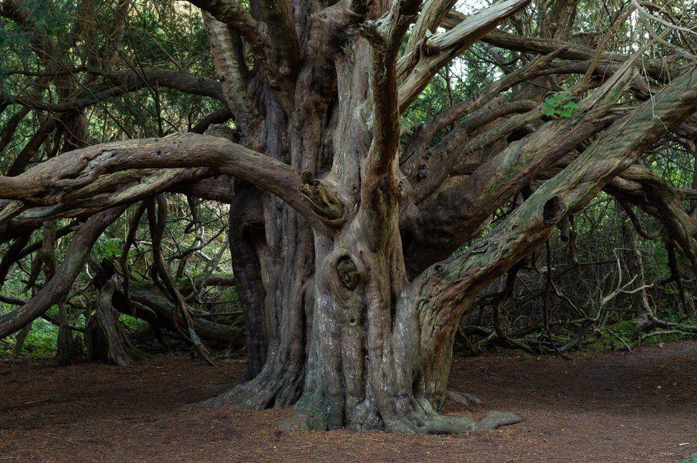 Kingley Vale Yew Tree