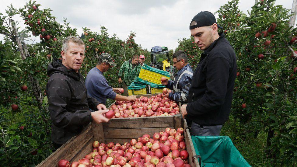 Apple harvest near Lindau, Germany, 1 Sep 14