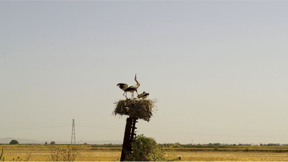 A stork nest with tagged juveniles in Tunisia