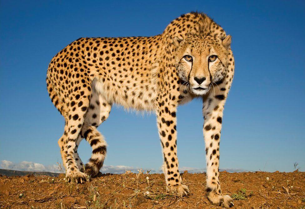 Cheetah Wallpaper (72+ images)