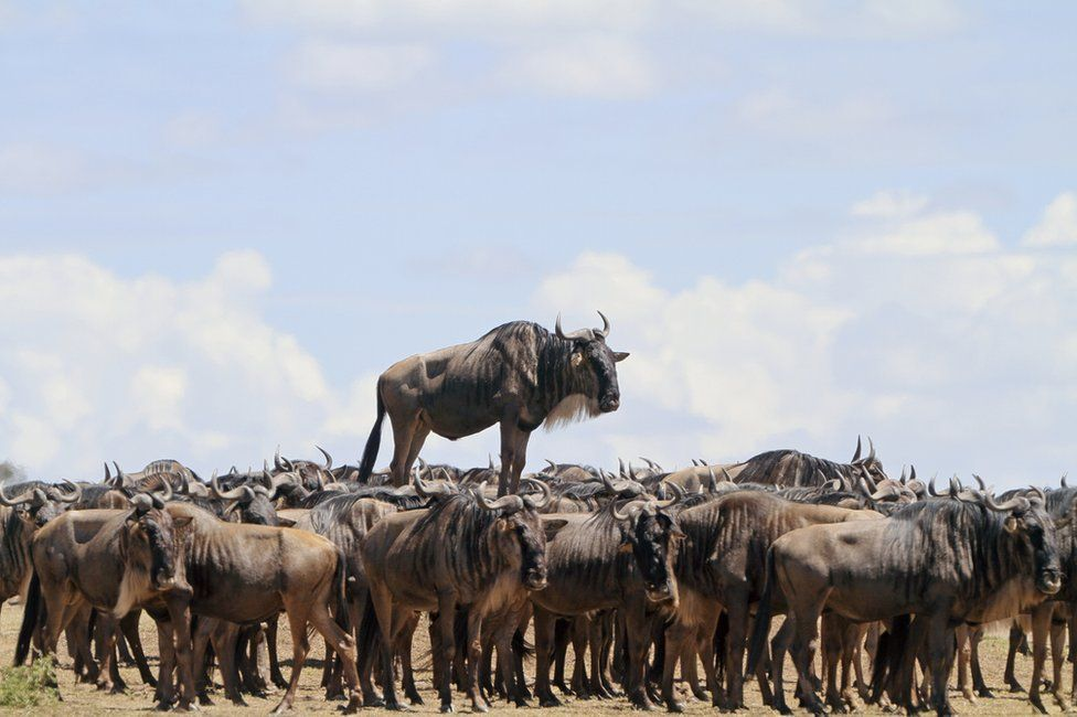 Африканські гну, african wildebeest. Photo: Jean-Jacques Alcalay.