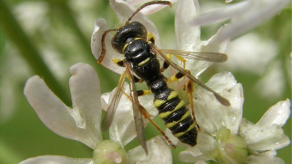 Five-banded weevil wasp