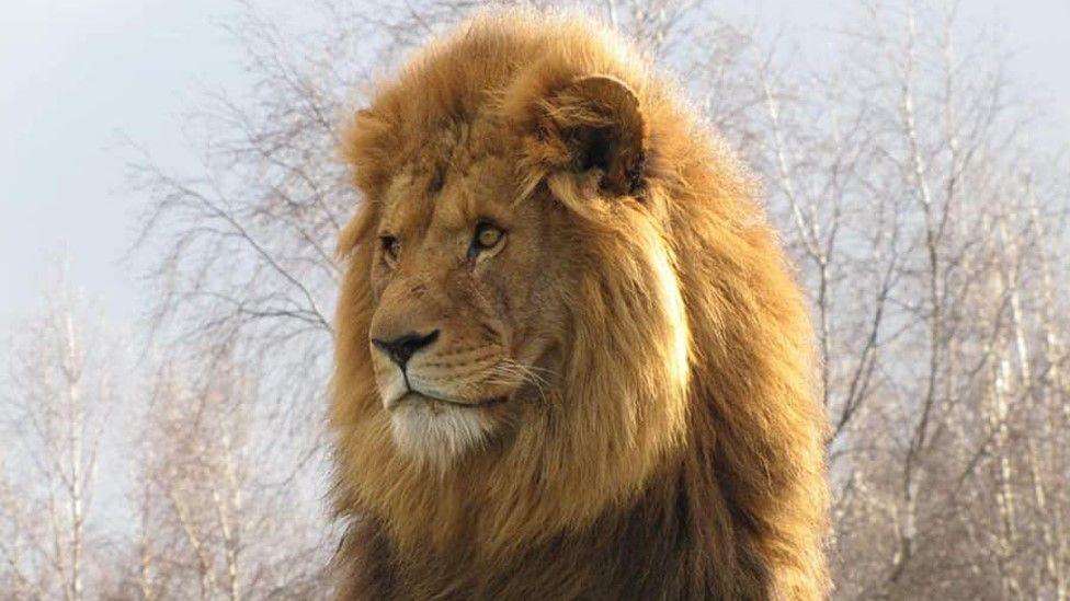Mojo the lion