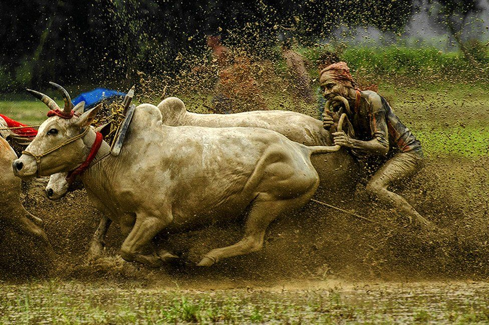 Cattle racing in the mud
