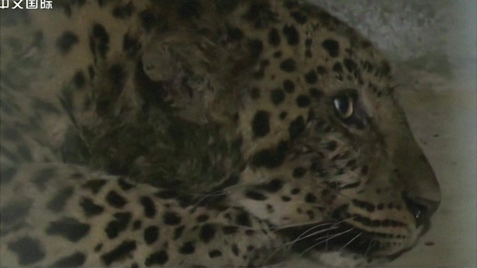 One of the leopards, which was captured over the weekend