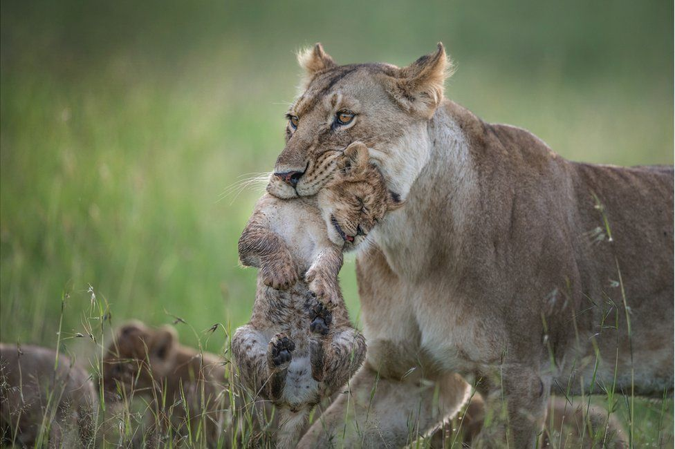 A lioness grips her cub in her mouth