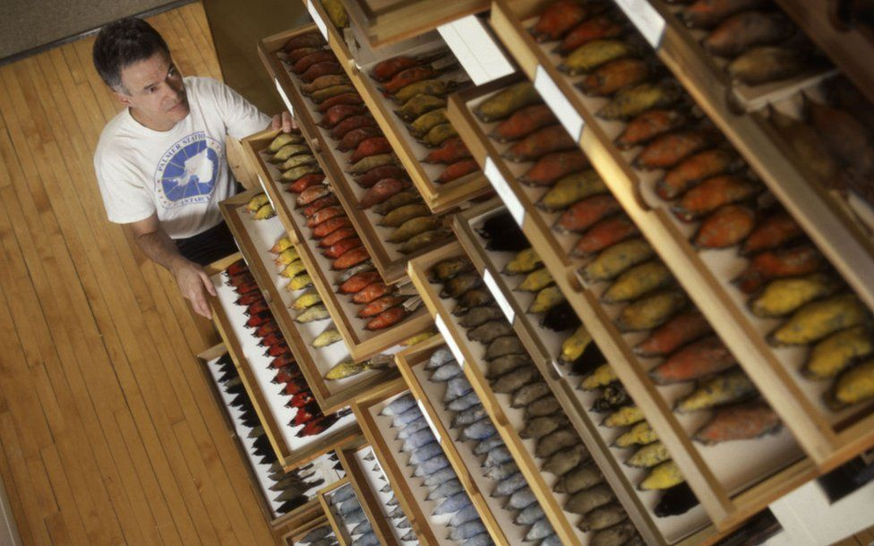 Dave Willard stands before drawers of birds