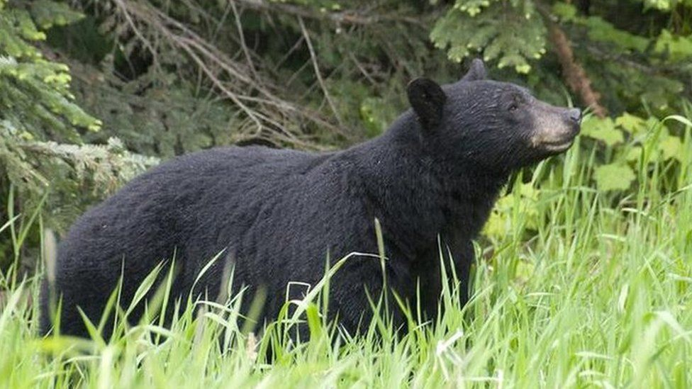 Black bears, like this one in British Columbia, rarely attack humans