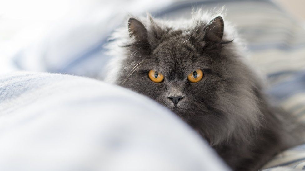 A long-haired cat in a bed
