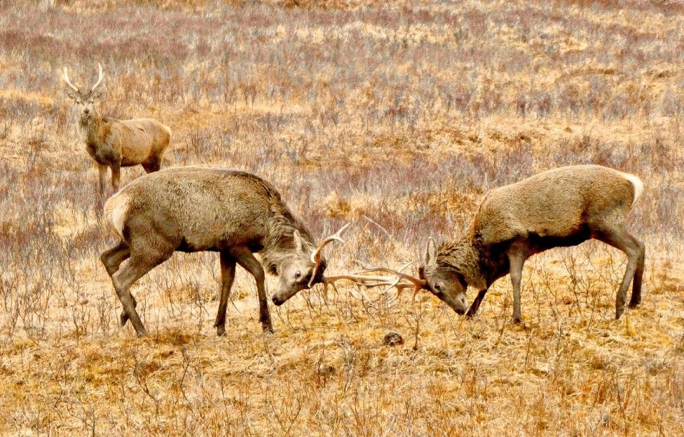 Stags rut