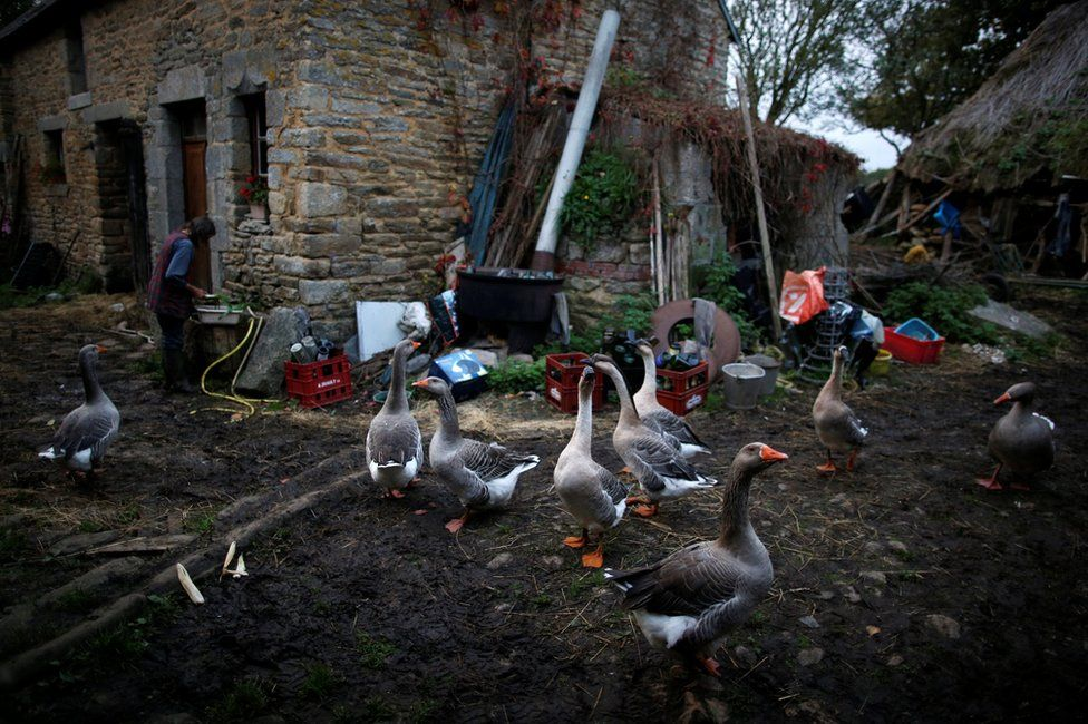 A farmyard with Laurence and several geese