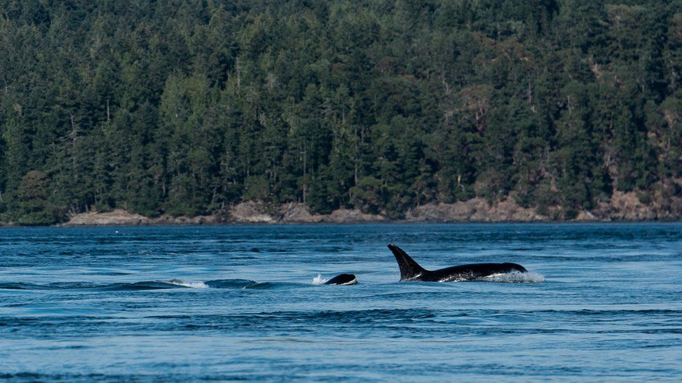 Two orcas fins poke above the waters of Salish Sea, in July 2016 in San Juan Island, Washington, United States