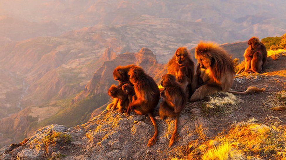 Troop of baboons (c) SPL