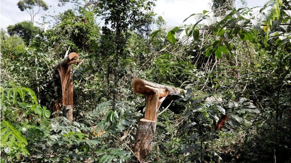 felled trees in para state
