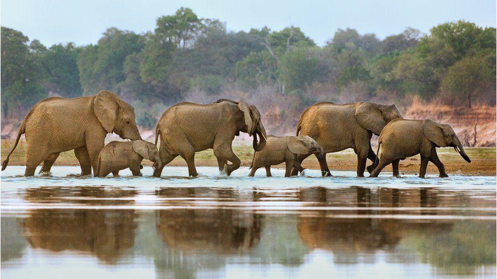 Elephants crossing the Luangwa River, Zambia. Photo filed 26 May 2015.