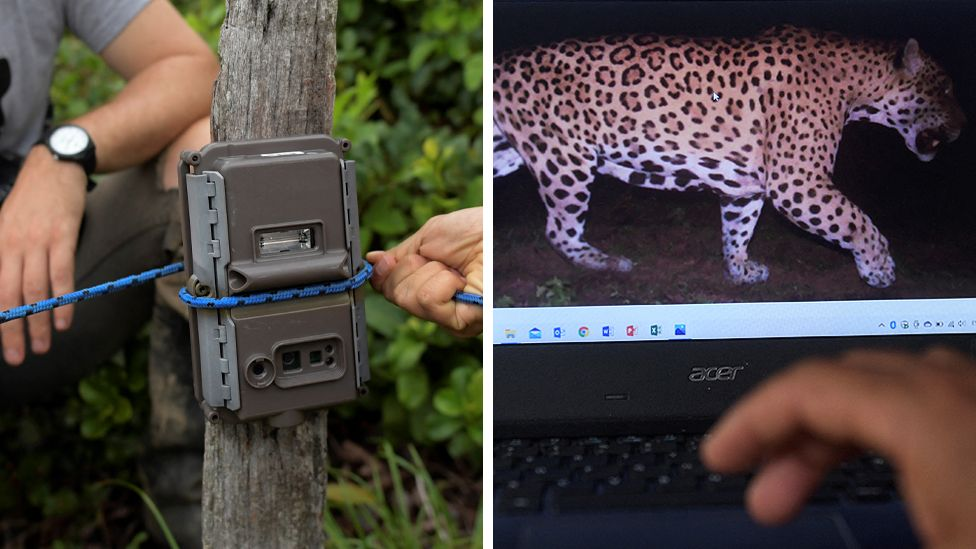 Image of camera trap and a jaguar it's captured