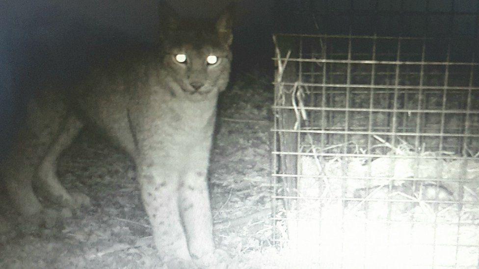 Missing lynx Lilleth