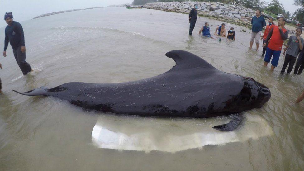 Pilot whale off Thailand