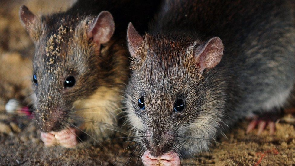 Rats eat grains of rice in Allahabad, India, on July 28, 2015