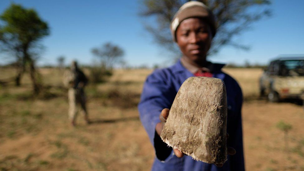 In a bid to prevent poaching and conserve the different species of rhino, a rhino ranch owner (in South Africa) trims the animals' horns regularly.