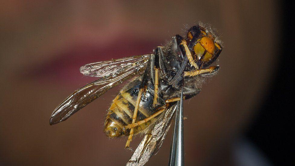 Asian Hornet being held by a pair of tweezers