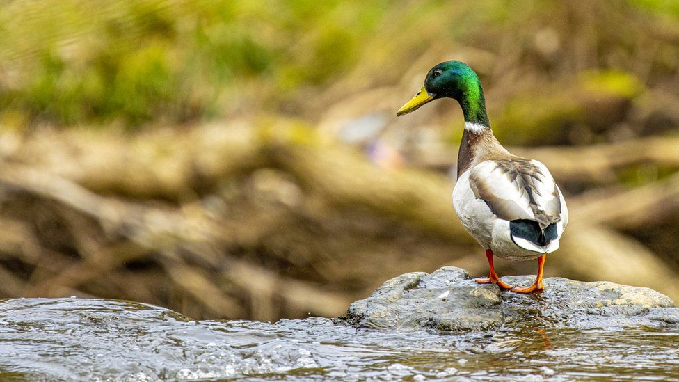 Duck at waterfall edge