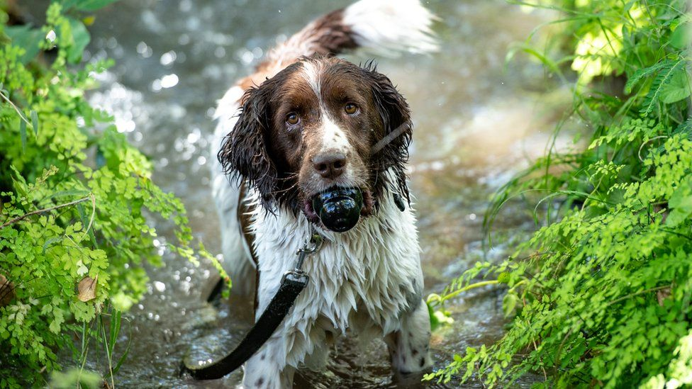 A springer spaniel on a leash with a toy in its mouth in a river in Arusha, Tanzania