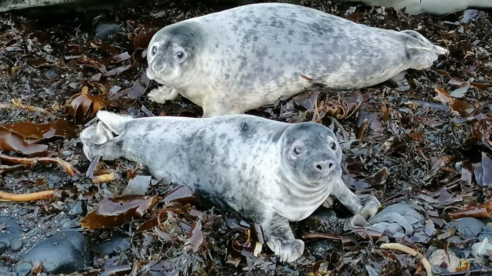 Grey seal pups on Inchkeith Island in the Firth of Forth