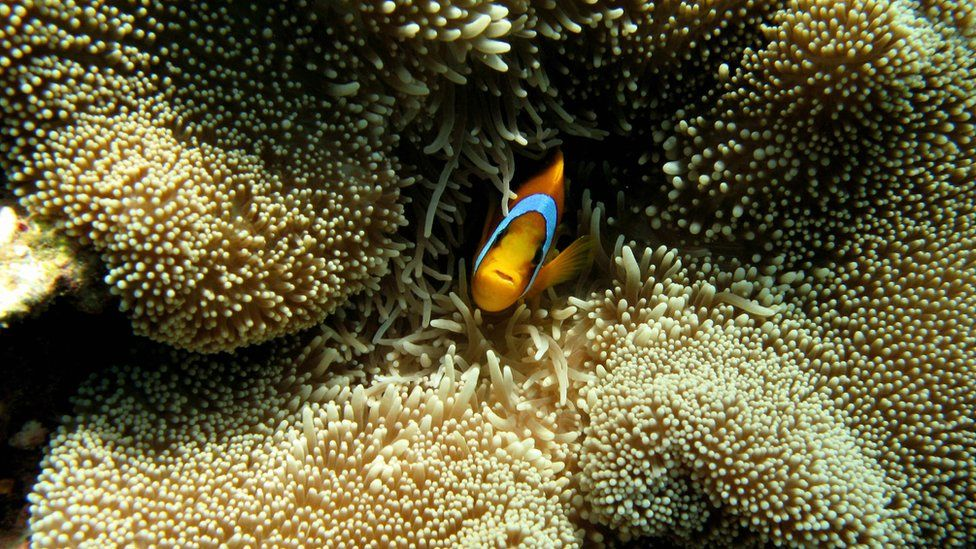 A clownfish peers out from an anemone