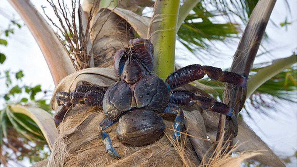 Crab climbing a palm tree